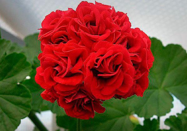 Пеларгония розебудная характеризуется внушительными соцветиями