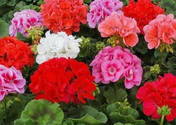 Пеларгония пышно цветет в цветочном горшке