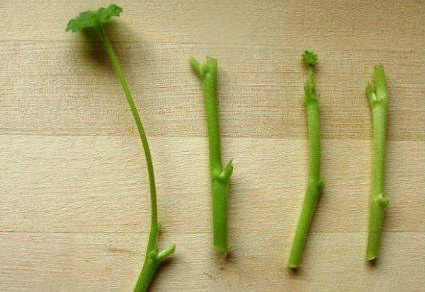 Черенкование герани – популярный способ получить молодое растение