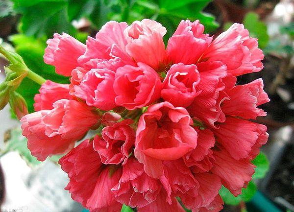 Герань тюльпановидная была презентована в 1966 г