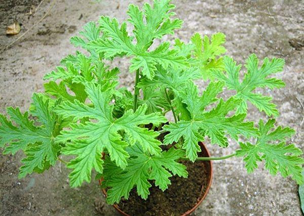 Герань душистая является многолетним растением семейства Гераниевые