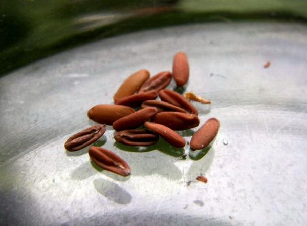 Семена пеларгонии имеют очень плотную оболочку