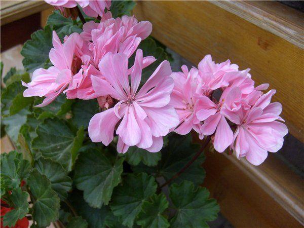 Пеларгония карликовая Pink Ice