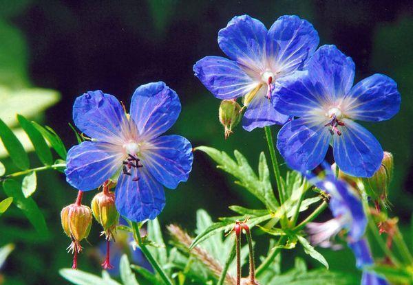 Герань луговая - лечебное растение