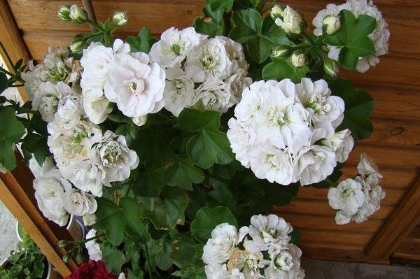 Пеларгония компактная Ice Rose