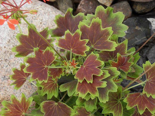 Пестролистные сорта ценятся за декоративность листьев