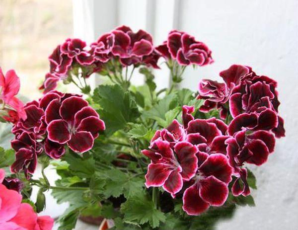 Королевские сорта имеют крупные (5–7 см) и привлекательные цветки