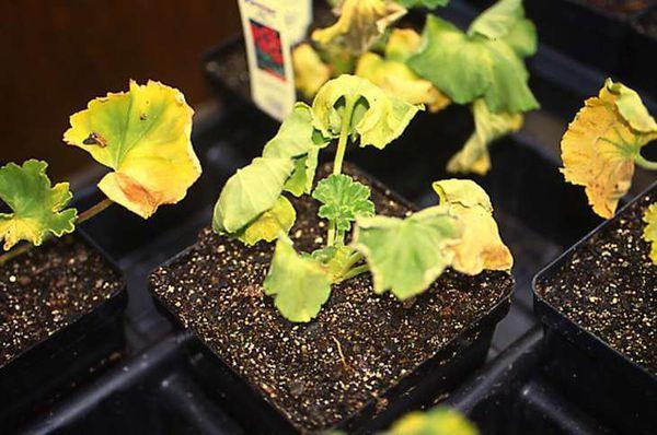 Неправильный процесс удобрения может навредить растению