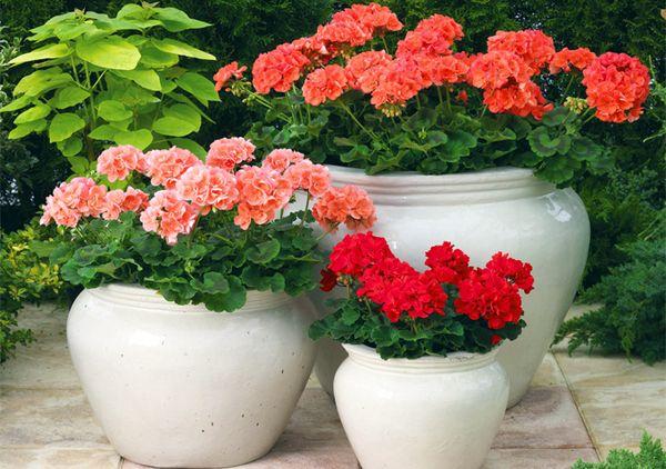 Пеларгония: выращивание и уход в домашних условиях, как правильно развести, а также подходящие условия для роста