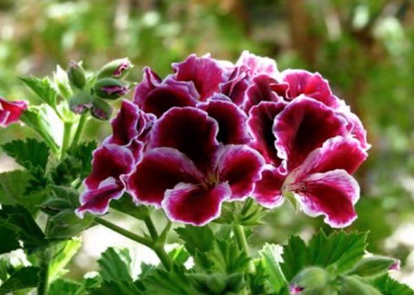Королевская герань – растение капризное и прихотливое