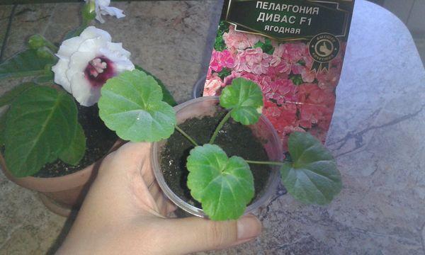 Выращивание пеларгонии предполагает обязательную пикировку